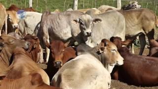 The Delamere family handed 49 heads of cattle to the late KWS ranger Samson Ole Sisina