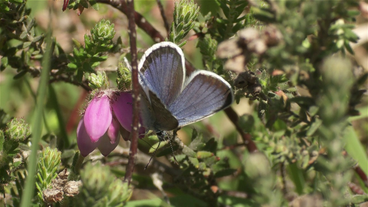 Silver-studded blue - New Forest National Park Authority