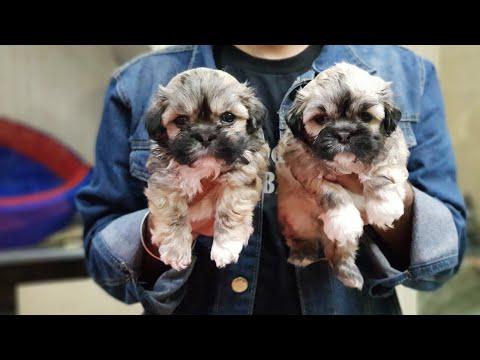 Lhasa Apso Puppies Playing #VikasPetShop#