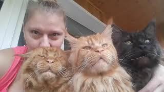 Мои красавцы коты породы мейн кун.