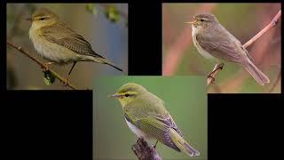 Fågelsång Lektion 7: Lövsångare, gransångare och grönsångare (P1 Naturmorgon)