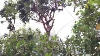 春の山桃(ヤマモモ)の木 Wax myrtle, Bayberry (Healing video)