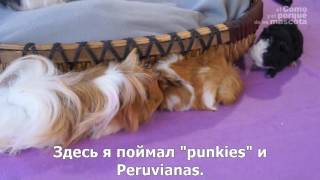 Морские свинки-длинношерстные морские свинки. Sheltie, Peruviana, Tisilar