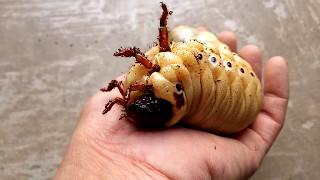 """Impressionnant : une larve géante d'un insecte """"dynaste Hercule"""""""
