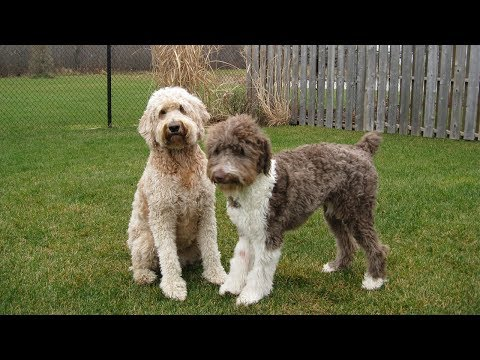 Cute Aussiedoodle Puppies - Poodle Mix Dogs