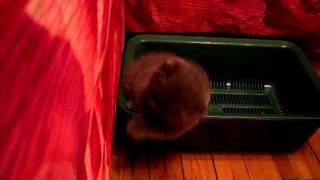 голубой шотландский котенок