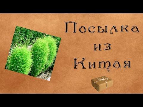 КОХИЯ  (KOCHIA)  сем. Амарантовые