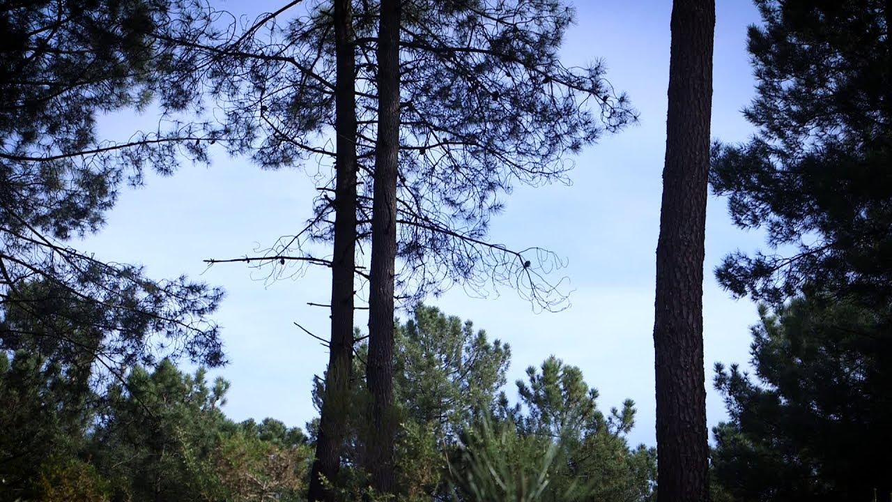 La forêt de Migelane en Gironde
