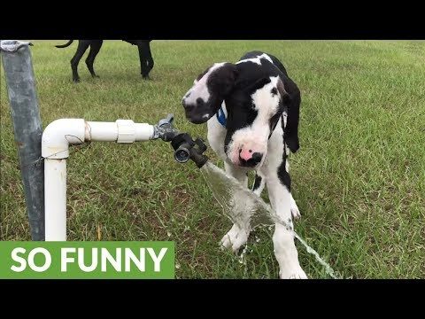 Playful Great Dane puppy attacks water faucet