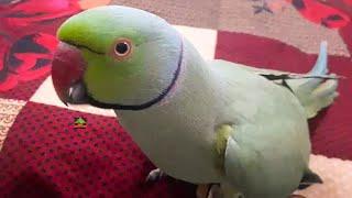 Speaking Parrots Talking In-Room So Cute