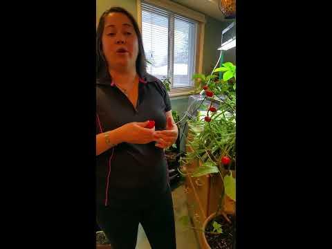 Pleasurevault SECRET to Growing CACHUCHA Cuban Peppers INDOORS & Cuba Black Beans