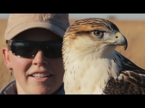 Ferruginous Hawk Falconry