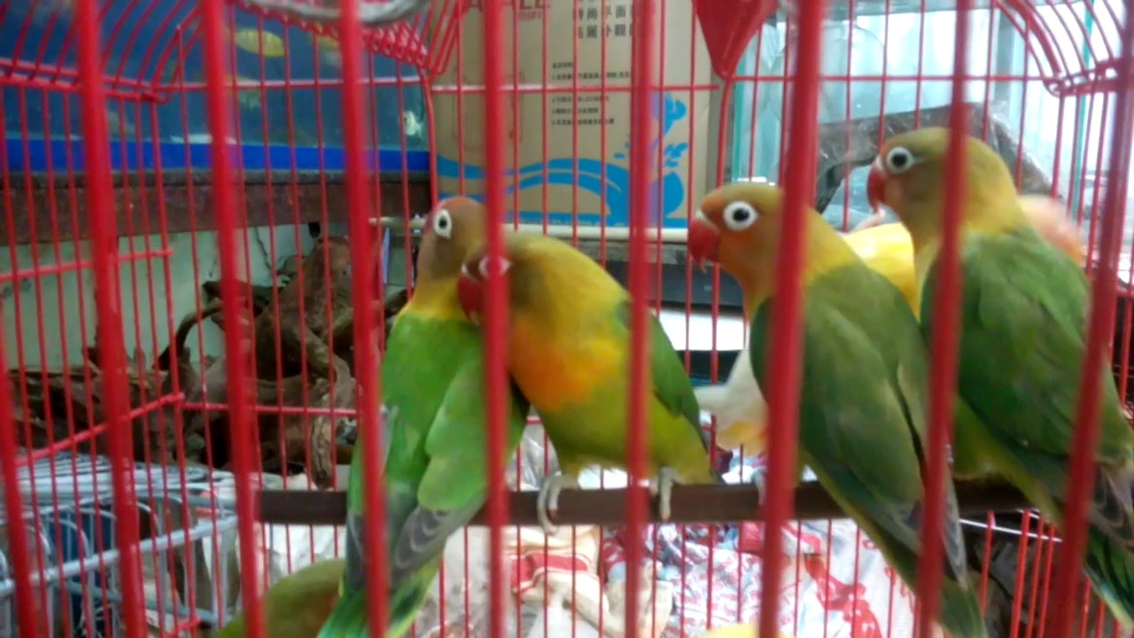 African love bird for sale at best price mumbai 9833898901