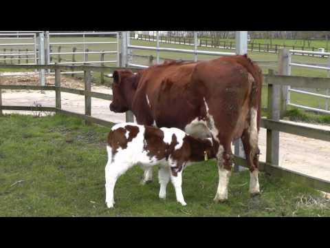 Calves Part One. Febuary ~ April. 2013