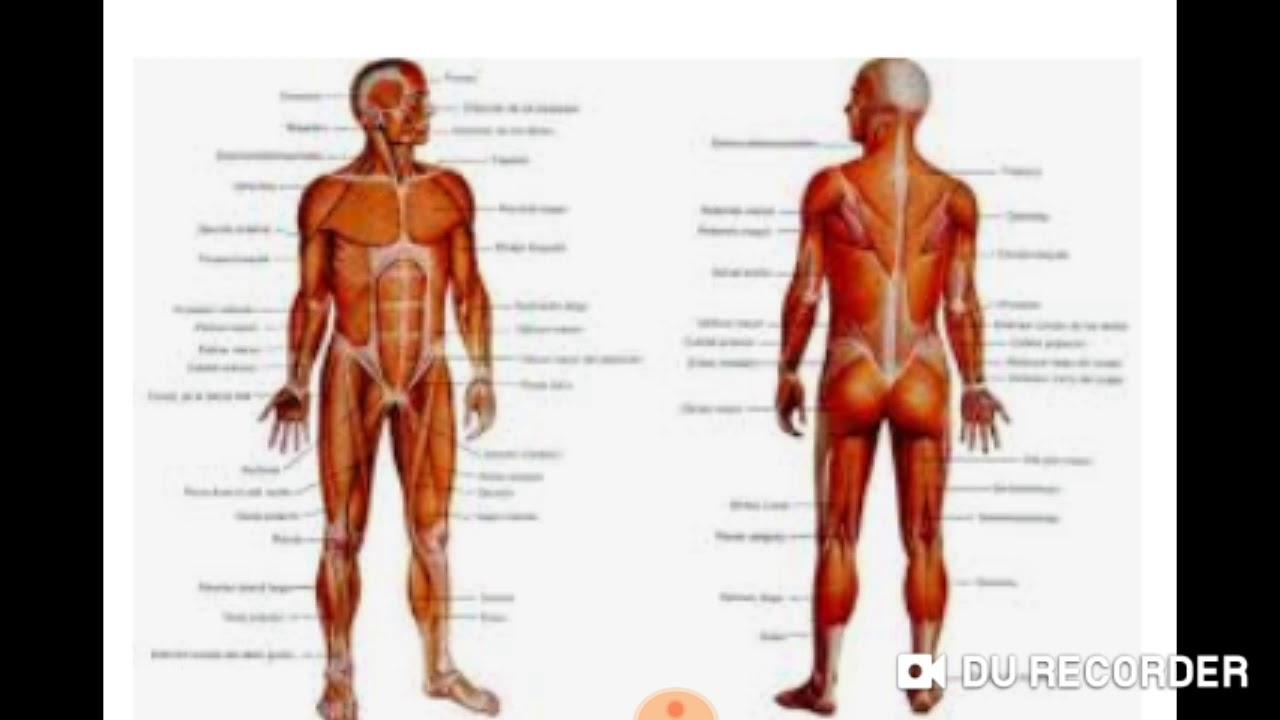 como se conocen los puntos donde se unen los huesos