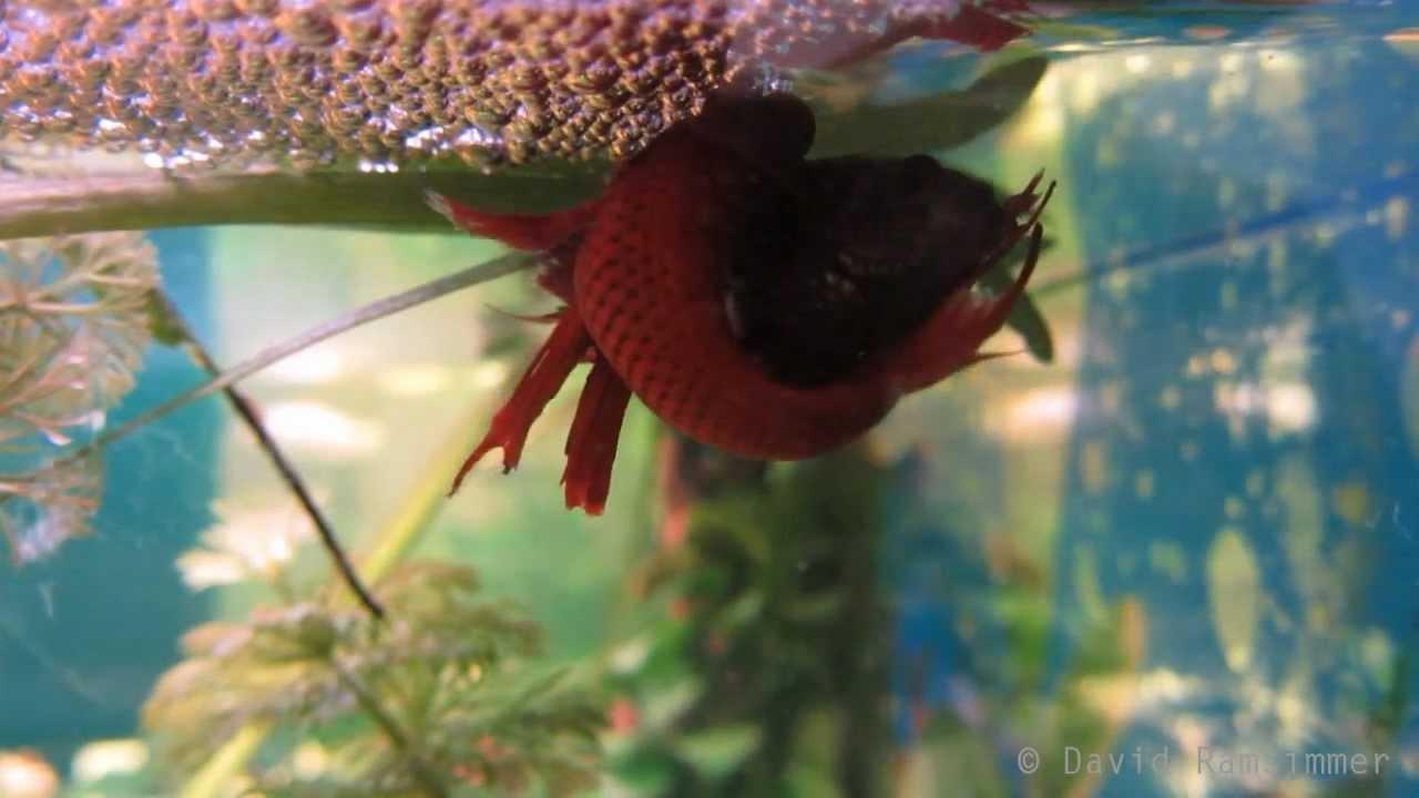 Hd siamese fighting fish betta splendens spawning for Why do betta fish fight