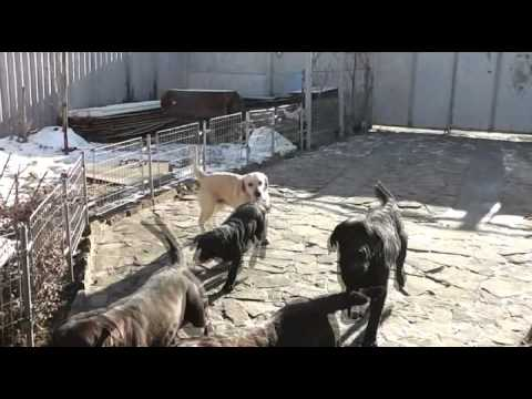 Лабрадор черный или белый - YouTube