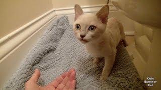 Cómo ayudar a un gatito asustado tímido »Wiki Ùtil ¡Primeros días en casa!