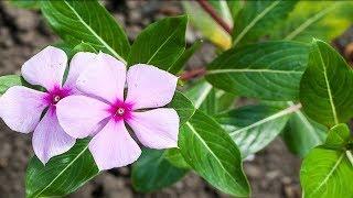 VORSICHTIG! Hab niemals eine dieser 9 Pflanzen in deinem Haus! Sie sind eine Gefahr für dich!