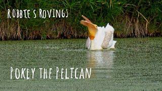 pokey the pelican - Pelican fishing in pond Sony HX99 4k