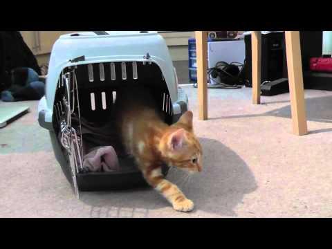 Bringing new kitten home, cute!