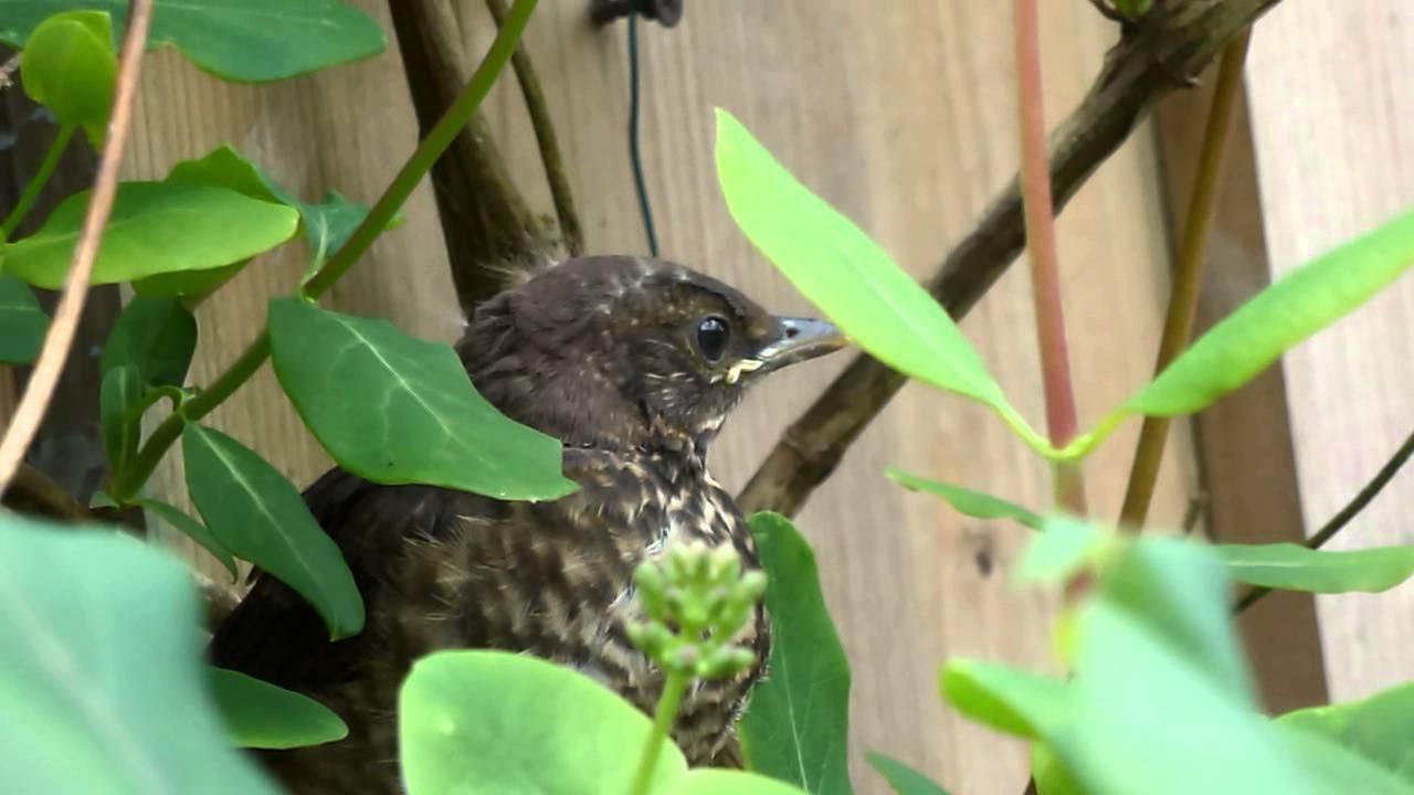baby black bird: first flight in my garden - YouTube