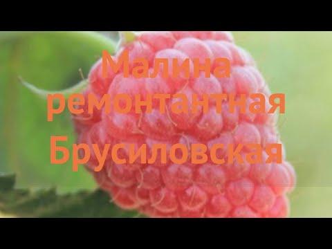 Малина ремонтантная Брусиловская (brusilovskaya) 🌿 обзор: как сажать, саженцы малины Брусиловская
