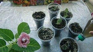 переросшие клубни глоксиний, посадка !!! Сильно длинные ростки How to grow gloxinia part 13