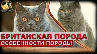 видео Уход за британской кошкой