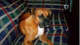 Boca The Boxer Dog