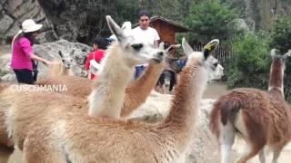 LLamas TRAVIESAS en Machu Picchu
