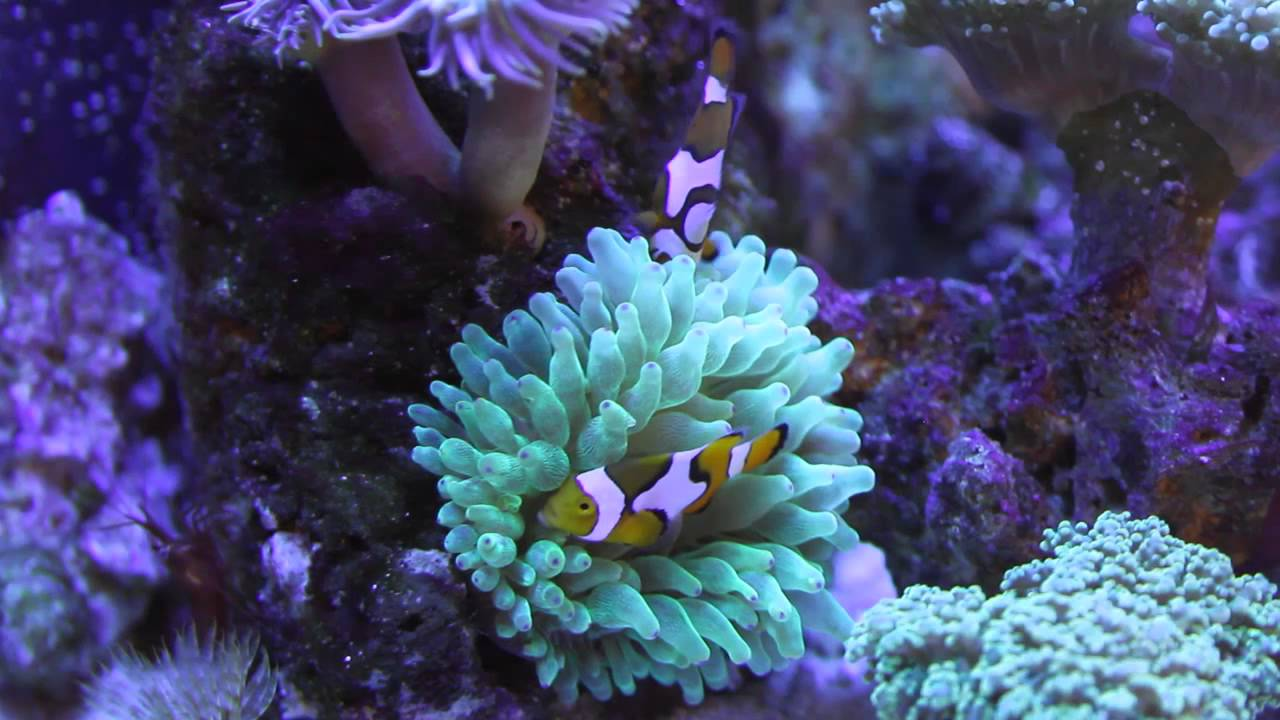 Clownfish hosting green bubble tip anemone youtube - Anemone species caring color refinement ...