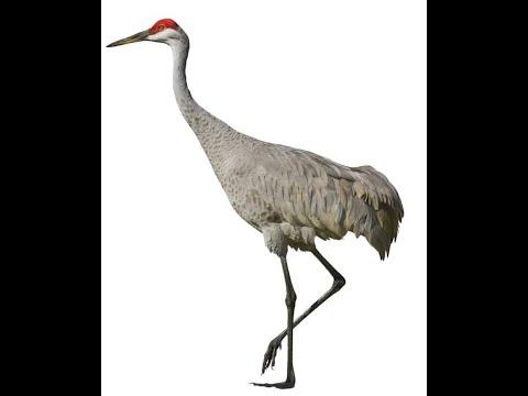 Bird Name- Crane