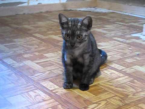 Rare Egyptian Mau Kittens