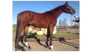 Spirit - Спирит. Купить лошадь | Brech Horses