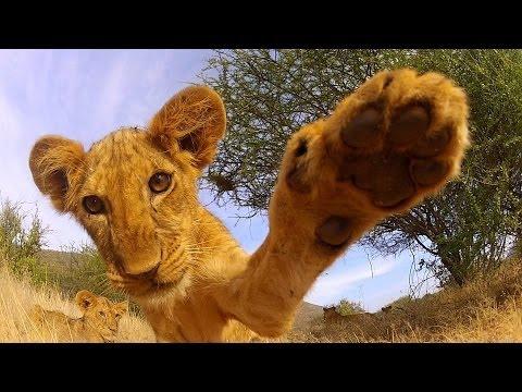 GoPro: Lion Cub Roar - TV Commercial