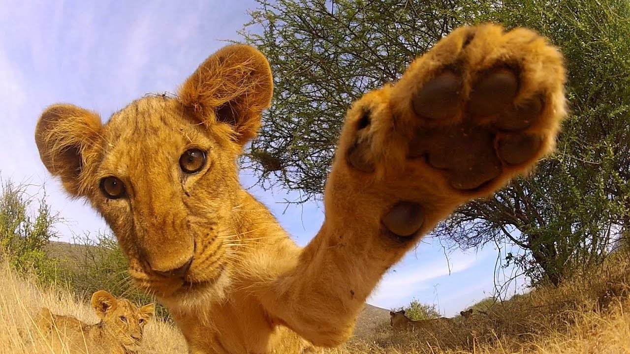 GoPro: Lion Cub Roar - TV Commercial - YouTube for Lion Roaring Gif  181obs
