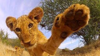 GoPro: Lion Cub Roar – TV Commercial