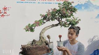 Pan City 256   Giao Lưu 20 combo linh sam siêu bông hoa rực rỡ, mai chiếu thủy cụm rừng,bông giấy mỹ