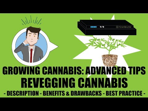 ReVegging A Harvested Cannabis Plant Tutorial - Growing Cannabis 201: Advanced Grow Tips