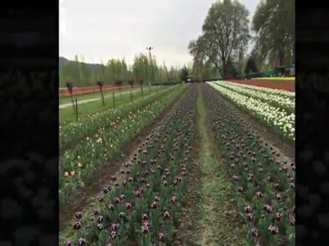 Srinagar Tulip Garden - April 2015
