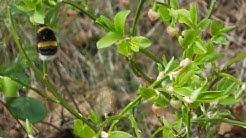 Kimalainen pölyttää mustikankukkia