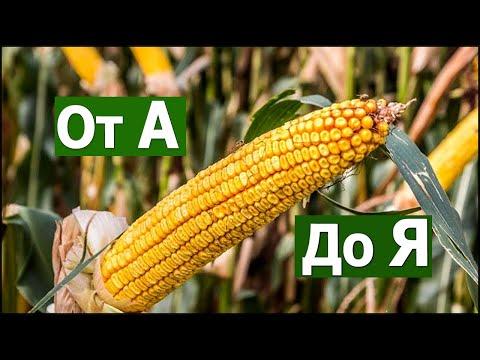 Выращивание кукурузы от А до Я #СельхозТехникаТВ сезон 2019г.