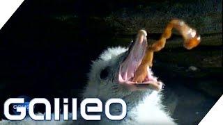 Igitt! So funktioniert Mobbing bei Tieren | Galileo | ProSieben thumbnail