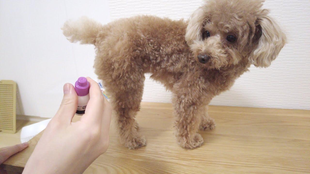 お尻に薬を塗られるのが嫌でシッポでガードする犬が可愛いw【トイプードル】