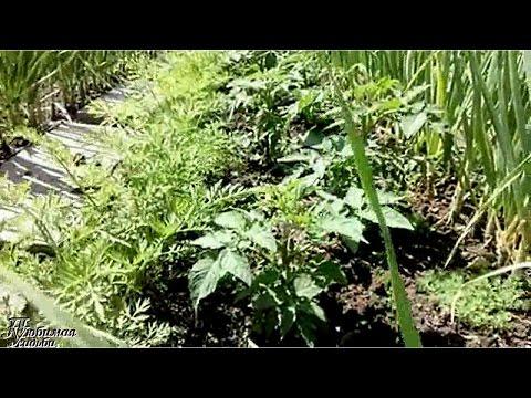Как правильно совмещать посадку овощей. | выращивать | выкапывать | совмещать | поливать | обрезать | хранить | убирать | посадку | болезни | сажать