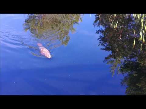 Majava Tiilikkajärvellä