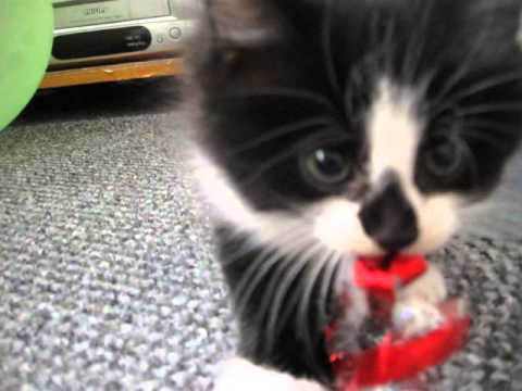 Kitten Growling As He Defends His Shiny Shiny