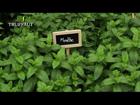 Comment Planter De La Menthe Jardinerie Truffaut Tv Youtube