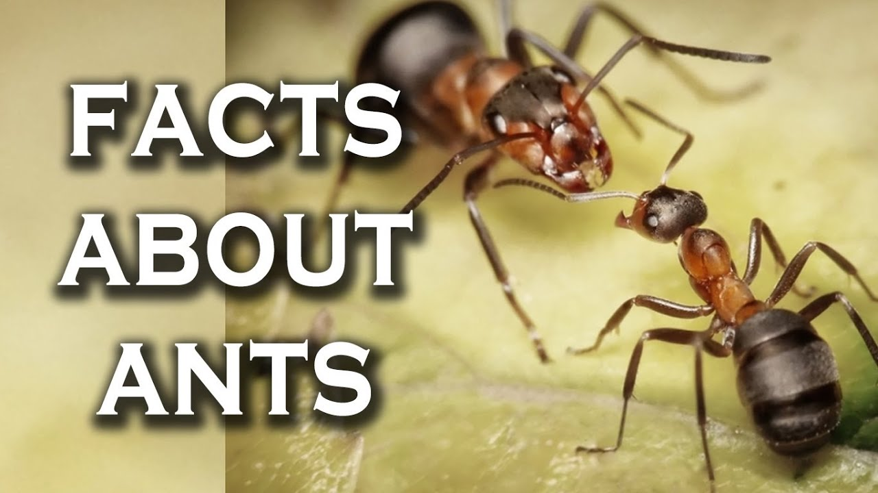 Top 10 Awesome Facts You Didn't Know About Ants - YouTube